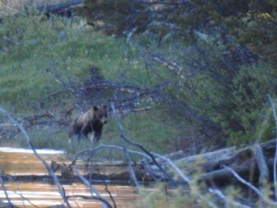 Zwarte beer bij Oxbow Bend