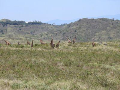 Giraffes en zebra's