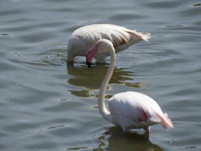 Flamingo's in Small Mormolla Lake