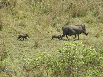 Wrattenzwijn familie