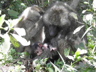 Een pasgeboren baviaan