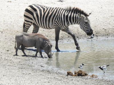 Dieren komen samen bij de waterplas om te drinken