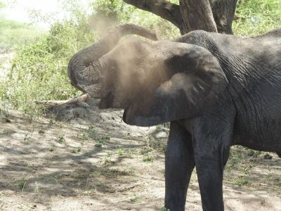 Olifanten gooien zand over hun lichaam ter bescherming tegen vliegen en de zon
