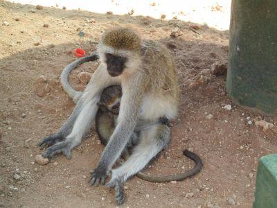 Brutale bavianen wachten tot ze eten kunnen grijpen