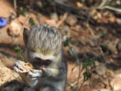 Deze baviaan heeft iets te eten gevonden