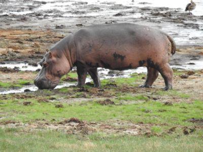 Dappere nijlpaard in de zon
