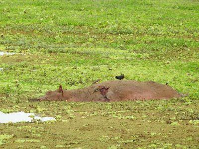 Deze nijlpaard heeft het niet overleefd