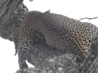 Een mannetjes luipaard