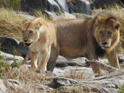leeuwen koppel