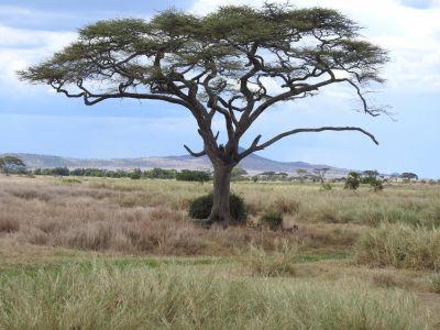 Een groepje leeuwen onder de boom