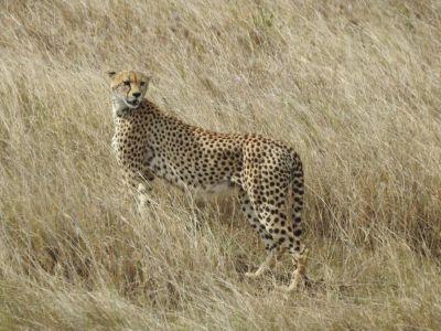 De cheeta heeft een dun gespierd lijf en een ronde kop