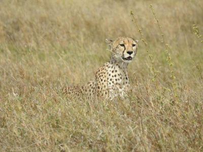 Deze cheeta is gefocust