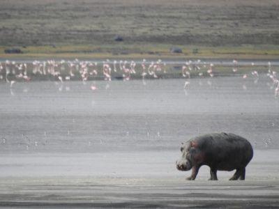 Flamingo's en nijlpaarden leven in het zoutmeer