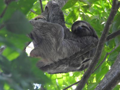 Three-toeded-sloth