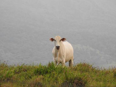 Koeien bij de Casa Torre Lodge