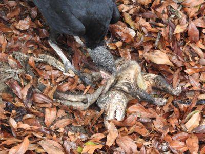 Gieren aten een dode possum langs de kant van de weg