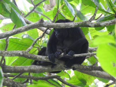 Een howler monkey met jong