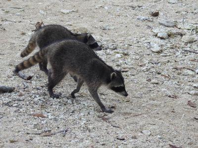 Wasberen liepen overal door het national park