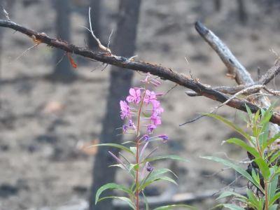 Een eenzaam bloemetje groeit tussen de afgebrande resten