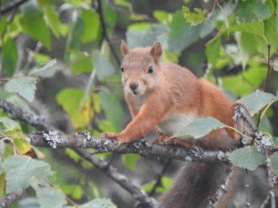 Een eekhoorn bij Vikaköngäs