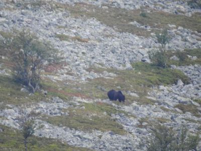 Een Europese bruine beer