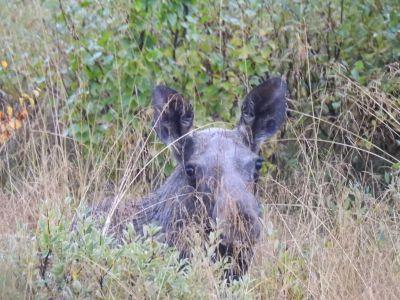 De eland verstopte zich in het hoge gras