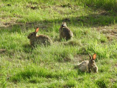 Wilde konijnen