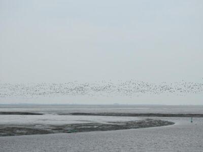 Boven het wad vliegen grote groepen vogels