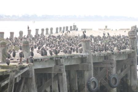 De oude houten pier in Oamaru zit vol met shags