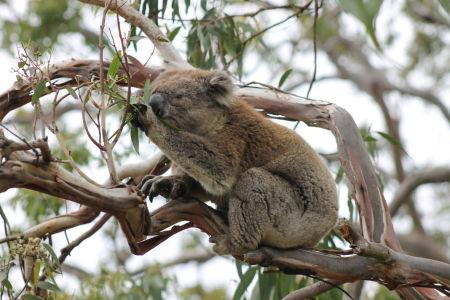 Etende koala Cape Otway