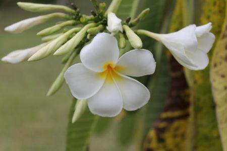 Tropische Fiji bloem