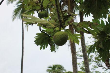 Fijian Longan