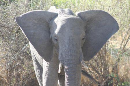 Olifanten wapperen met hun oren tegen de warmte