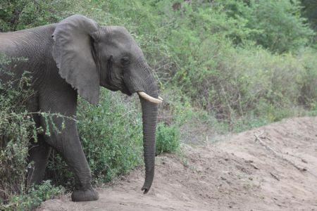 Olifanten komen vanuit het niets uit de bosjes