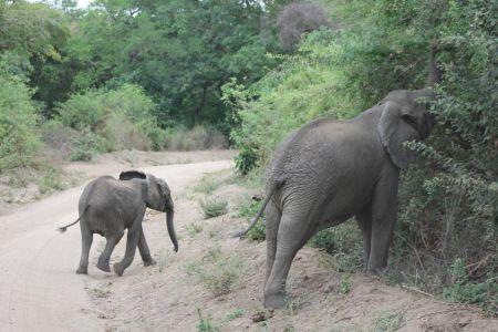 Grote kuddes olifanten steken de weg over