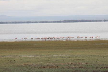 Lake Manyara staat bekend om zijn vele flamingo's