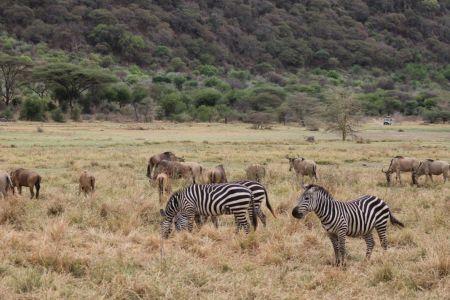 Zebra's en gnoe's