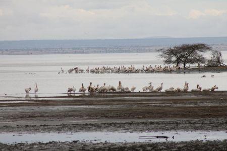 Bij Lake Manyara zie je veel vogels zoals deze pelikanen en flamingo's