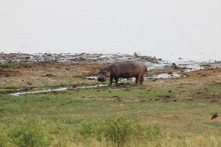Nijlpaarden zie je overdag amper op het land