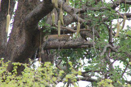 Een vrouwtje luipaard ligt hoog in de boom