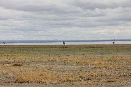 Giraffen bij Lake Manyara