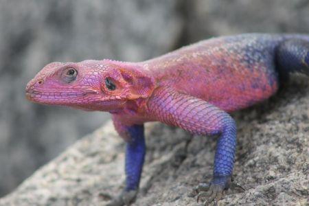 Mannetje gecko