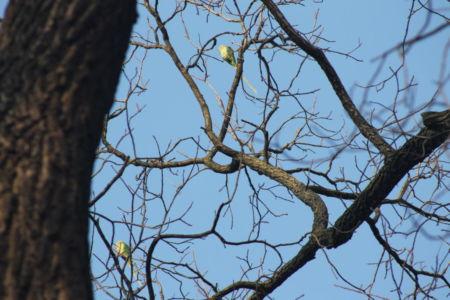 Papegaaien in Stadgarten