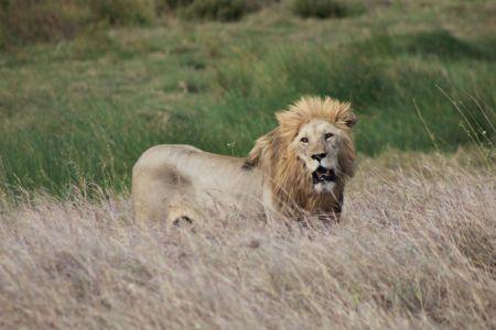 Deze leeuw moet nodig eten