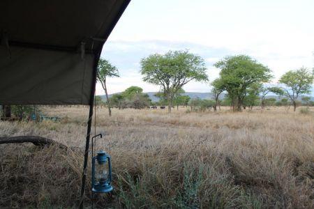 Een kudde buffels voor onze tent