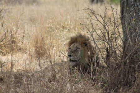 Leeuwen zijn goed verstopt in het gras
