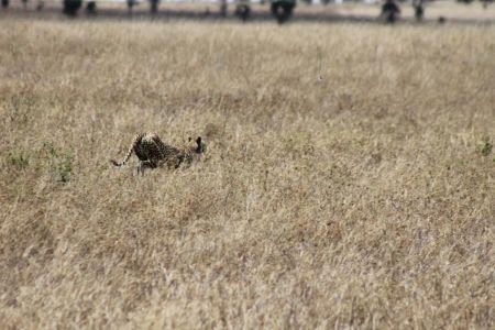 Deze cheeta vlucht voor bavianen