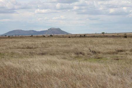 De dieren vallen niet op op de vlaktes van de Serengeti