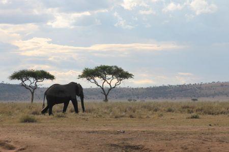 Eenzame olifant op de Serengeti