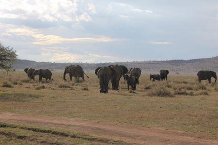 Grote kudde olifanten